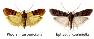 trappola al feromone per il monitoraggio delle Tignole Plodia Ephestia